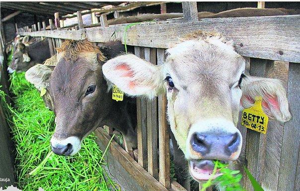 Junín en crisis por sequía, vacas producen menos leche por falta de pasto
