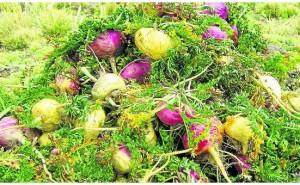 En Junín agricultores dejan de cultivar 2958 hectáreas de maca